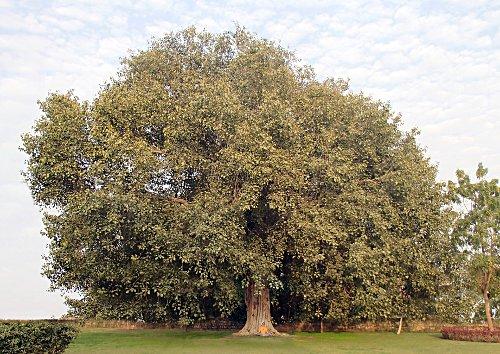 Vata Vriksha (Banyan Baum)
